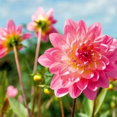 ντάλιες στον κήπο σας(1)
