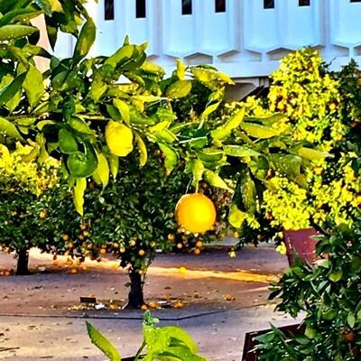 στον κήπο σας εσπεριδοειδή(1)